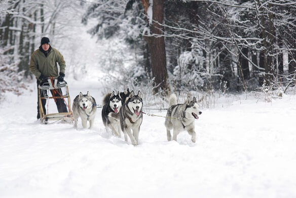 Huskies pulling man on sled in snowy forest