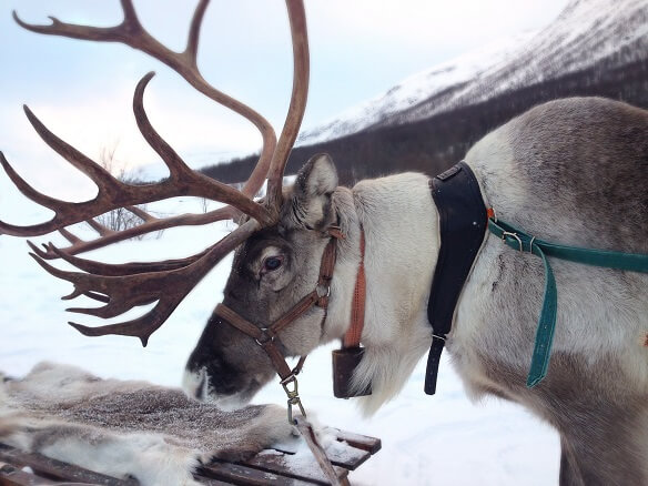 Reindeer harnessed in snowy mountains