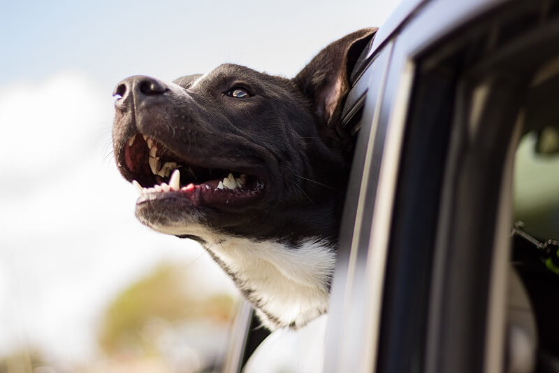 Using a car restraint or dog harness is a must when driving with your dog. It not only keeps you both safe, but could be a requirement of your car or pet insurance.